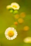 Field flower. Beautiful field flower. Macro shot Stock Images