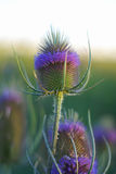 Field flower Stock Photos