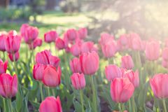 Field, flower bed with pink tulips. Multicolored tulips in the garden.  Bed of tulips royalty free stock photography