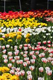 Field, flower bed with pink tulips. Multicolored tulips in the garden. Bed of tulips royalty free stock image
