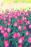 Field, flower bed with pink tulips. Multicolored tulips in the garden. Bed of tulips royalty free stock photo