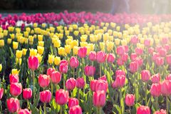Field, flower bed with pink tulips. Multicolored tulips in the garden.  Bed of tulips stock photography
