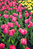 Field, flower bed with pink tulips. Multicolored tulips in the garden.  Bed of tulips royalty free stock photos