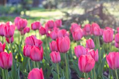 Field, flower bed with pink tulips. Multicolored tulips in the garden.  Bed of tulips stock image
