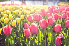 Field, flower bed with pink tulips. Multicolored tulips in the garden.  Bed of tulips stock images