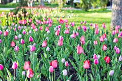 Field, flower bed with pink tulips. Multicolored tulips in the garden.  Bed of tulips stock photo