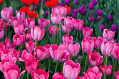 Field, flower bed with pink tulips. Multicolored tulips in the garden.  Bed of tulips royalty free stock images