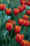 Many bright red tulips in the Park on a Sunny day royalty free stock photos