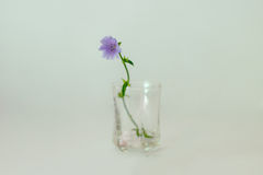 Field flower on a blue background Royalty Free Stock Images