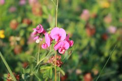 Field flower. A gentle roadside grass. Growth in the fields. Roses are small flowers. stock image