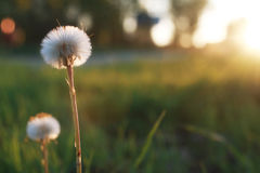 Field flower on green meadow in spring evening sunset hour Stock Images