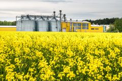 Field of flower of rapeseed, canola colza in Brassica napus on agro-processing plant for processing and silver silos for drying. Cleaning and storage of royalty free stock photo