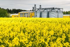 Field of flower of rapeseed, canola colza in Brassica napus on agro-processing plant for processing and silver silos for drying. Cleaning and storage of royalty free stock image