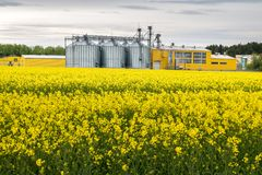 Field of flower of rapeseed, canola colza in Brassica napus on agro-processing plant for processing and silver silos for drying stock image