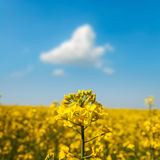 Field of flower rapeseed under blue cloudy sky Royalty Free Stock Image