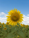 Field   flower   sunflower Royalty Free Stock Image