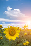 Field  flower  sunflower   sunset Royalty Free Stock Photos