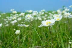 Field flowering anemones Royalty Free Stock Images
