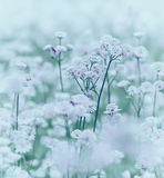 Field of flowering Astranta Major Royalty Free Stock Photography