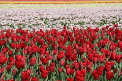 Field of flowering bulbs in red, pink and yellow Stock Image