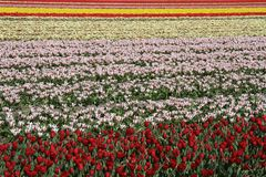 Field of flowering bulbs in red, pink and yellow Royalty Free Stock Photos