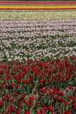 Field of flowering bulbs in red, pink and yellow Stock Photography