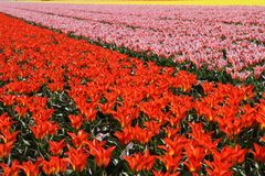 Field of flowering bulbs in red, pink and yellow Stock Photos