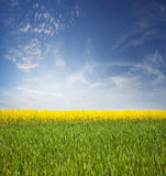 Field of flowering canola Royalty Free Stock Image