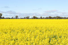 Field. A flowering canola crop with trees in background and clouds in sky Royalty Free Stock Images