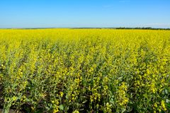 A field of flowering canola Stock Photo
