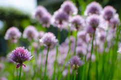Field of Flowering Chives Stock Photos