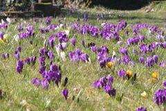 Field of flowering crocusses in spring. Field of flowering crocusses in purple, white and yellow in spring in garden Stock Photography