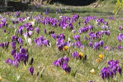 Field of flowering crocusses in spring. Field of flowering crocusses in purple, white and yellow in spring in garden Stock Photo
