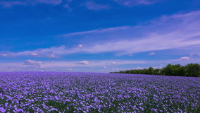 A Field of Flowering Flax stock video footage