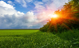 Field flowering grass, grove, perfect clouds at sunset. Field flowering grass and grove of trees on a background of beautiful clouds at sunset Stock Photography