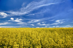 The field of flowering oilseed rape Royalty Free Stock Photo