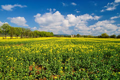 Field of flowering oilseed rape Royalty Free Stock Photos