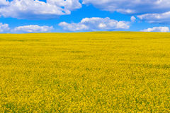 Field of flowering oilseed rape. Under the sky with clouds, the concept of organic agriculture Royalty Free Stock Photos