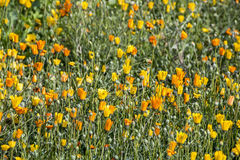 Field of Flowering Orange and Yellow Daisey Plants. Close up of field of flowering colorful morange and yellow daisey plant background Royalty Free Stock Images