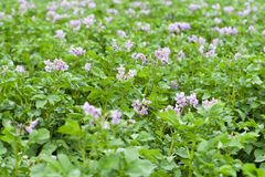 Field of flowering potatoes. stock image