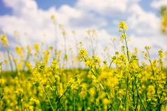 Field of flowering rape against blue sky with clouds. Natural landscape stock photo