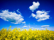 Field of flowering rape Royalty Free Stock Image