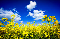 Field of flowering rape Stock Photo