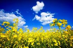 Field of flowering rape Stock Photo