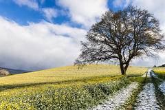 Field of flowering rape covered with snow in the spring Stock Images