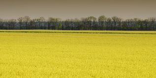 Field of flowering rape.  Panoramic and web banner format. Royalty Free Stock Images