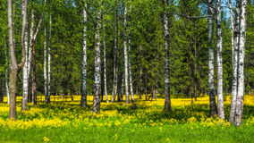 A field of flowering rapeseed in the birch grove. Yellow flowers. June in Saint Petersburg. A field of flowering rapeseed in the birch grove royalty free stock photos
