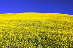 Field of flowering rapeseed, canola or colza Stock Images