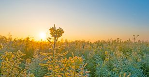 Field with flowering rapeseed in a foggy field at sunrise at fall. Field with flowering rapeseed in a foggy field at sunrise in autumn Stock Photo
