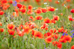 Field of flowering red poppies Stock Images